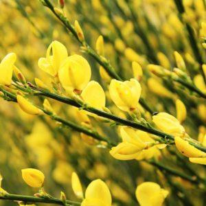 Genet Fleur Cytisus Scoparius