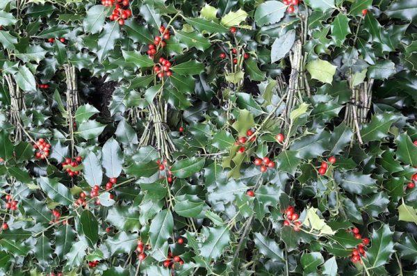 HOUX Rouge Boules Ilex Aquafolium